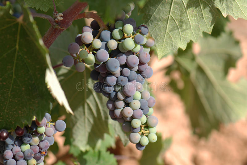 Tempranillo grape. Bunch of grapes of tempranillo vine stock photo