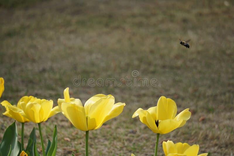 Temps d'abeilles au printemps image libre de droits