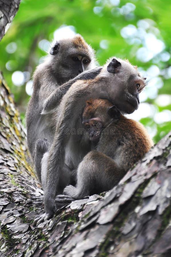 Temps de famille pour une famille de singe images stock