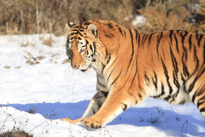 Temps de jeu de tigre image libre de droits