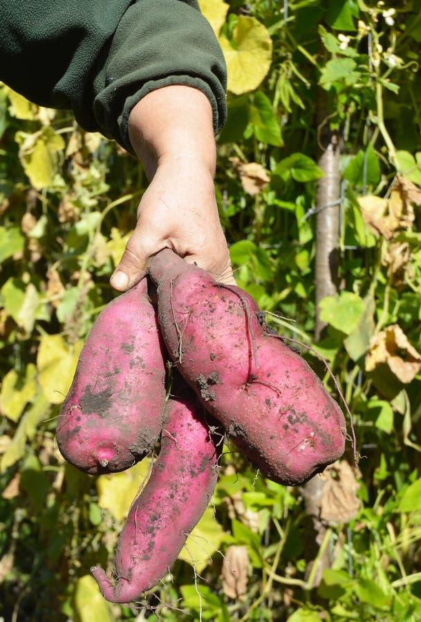 Temps de moisson de patates douces Comment cultiver les patates douces photo libre de droits