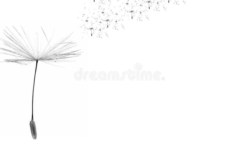 Temps de pissenlit Graines de pissenlit soufflant dans le vent Le vent gonfle un pissenlit Copiez l'espace dans la droite illustration stock