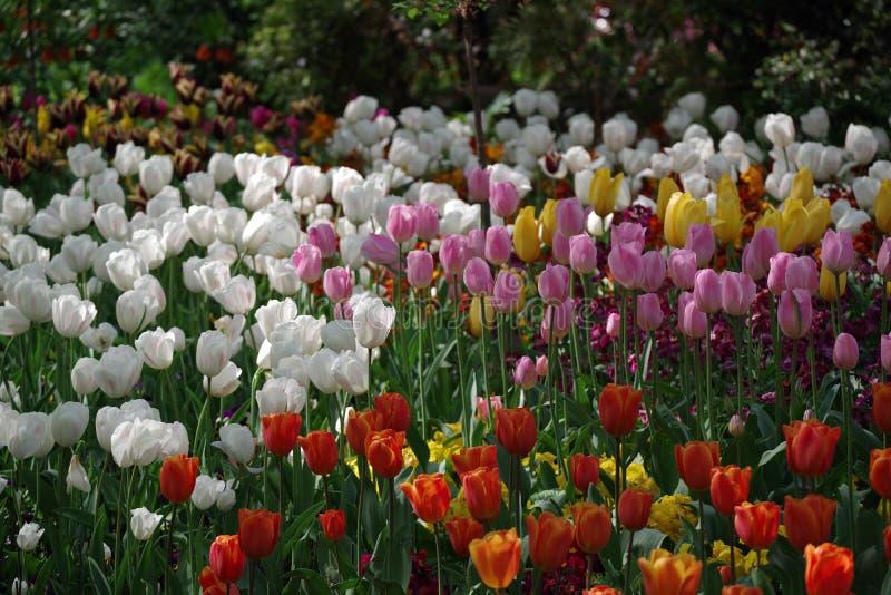 Temps de tulipes photos libres de droits
