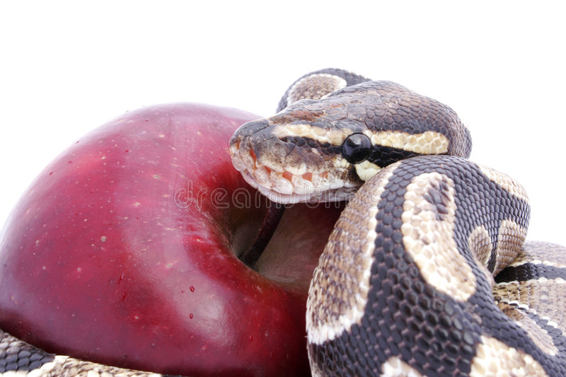 Temptation. Snake and Red Apple; temptation concept royalty free stock photography