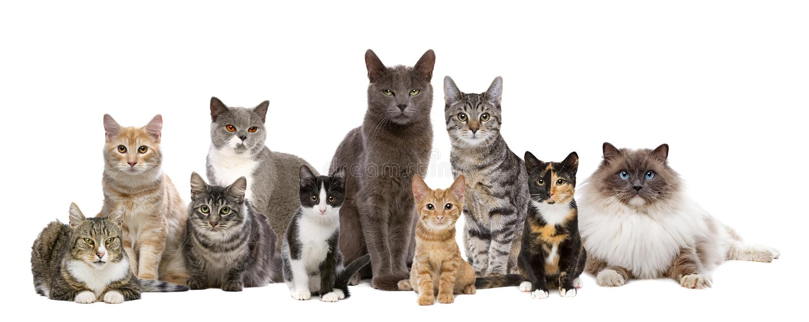Ten cats in a row. Many Cats sitting in a row, in front of a white background royalty free stock photography