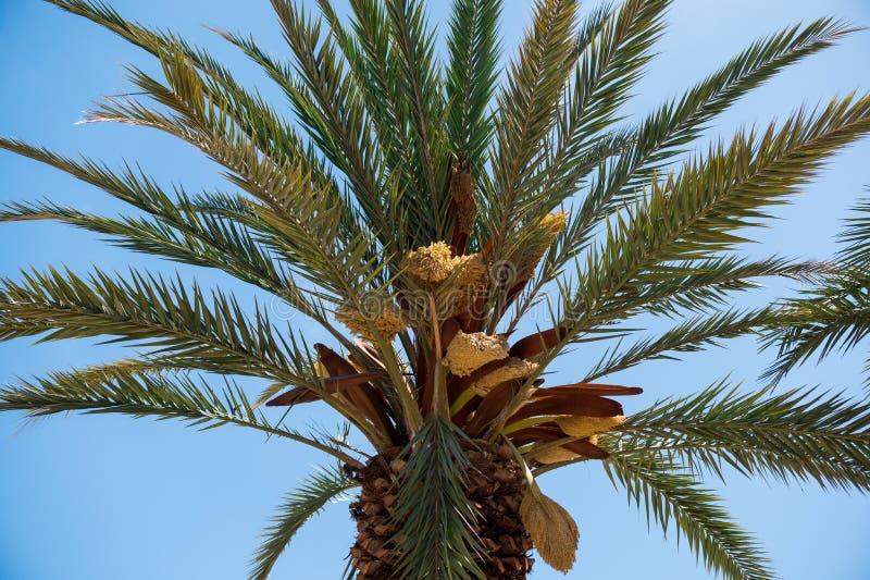 Ten daktylowa palma jest endemiczna w losie angeles Palma zdjęcie stock