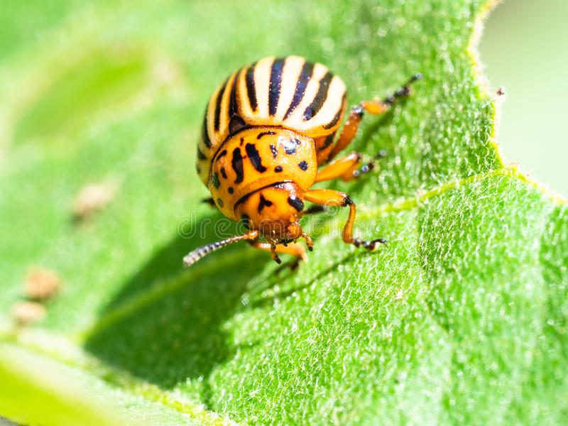 Ten-lined potato beetle on eggplant leaf close-up. In garden on sunny summer day royalty free stock photos