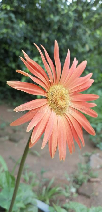 Ten naturalny chryzantema kwiat w sri lance zdjęcie stock
