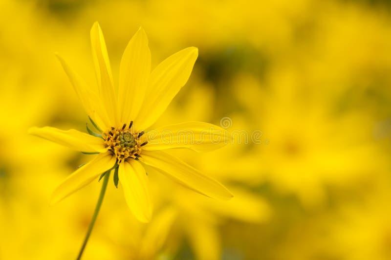 Ten-Petal Sunflower