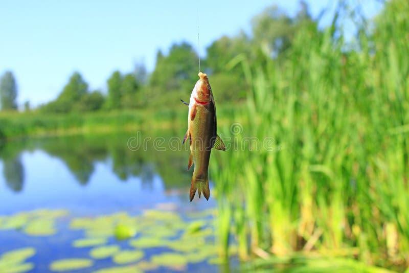 Tencas cogidas en la caña de pescar Pesca Pescados cogidos en fondo del bastón y de la charca fotografía de archivo