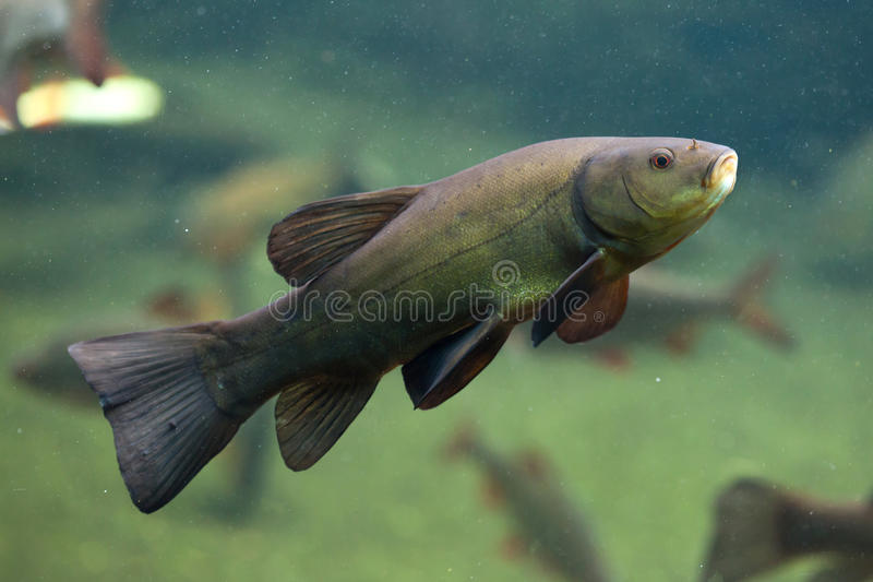 Tench (Tinca tinca), also known as the doctor fish. stock images