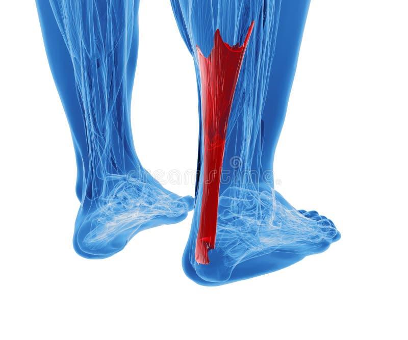 Tendão de Achilles com os mais baixos músculos do pé ilustração do vetor
