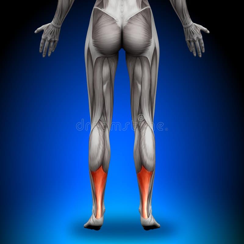 Tendão de Achilles das vitelas - músculos fêmeas da anatomia ilustração royalty free