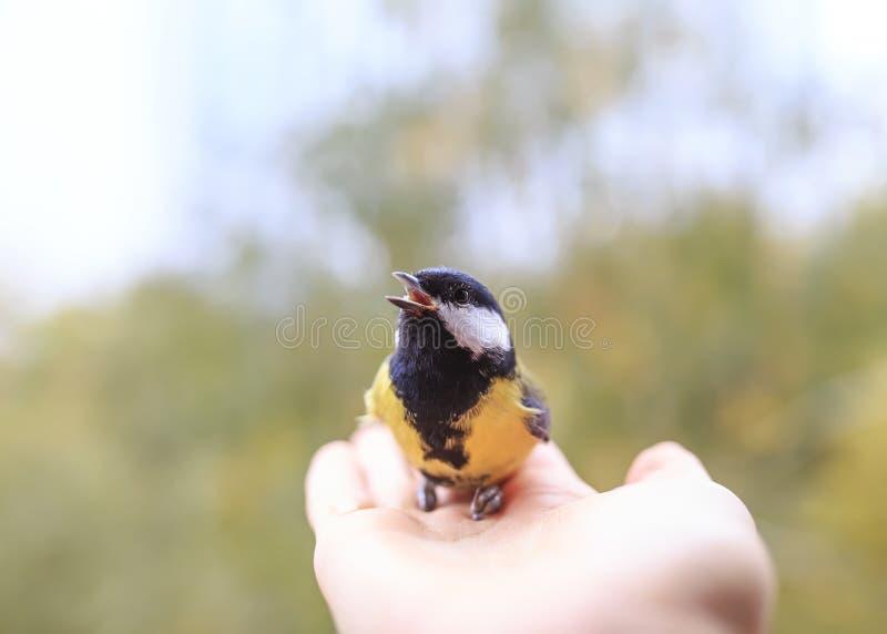 a tenda de pássaro senta na mão do homem, olha com interesse e canta em um dia ensolarado fotos de stock royalty free