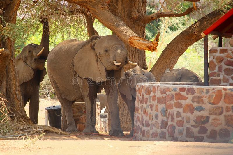 Tenda della località di soggiorno del bambino degli elefanti del deserto, Namibia immagine stock
