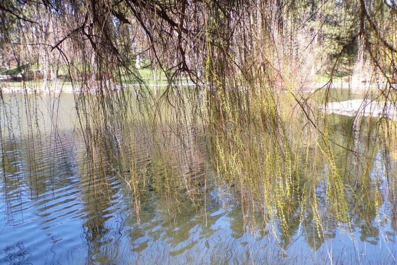 Tenda di Willow Branches Hanging nello stagno fotografie stock
