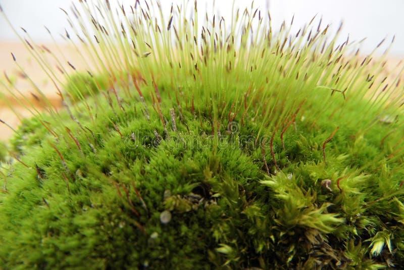 Tenda fresca di verde di muschio della primavera immagine stock