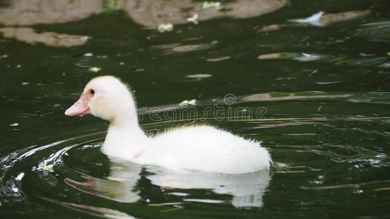 Tender and beautiful image of a white duck, mollerussa, lleida stock photos