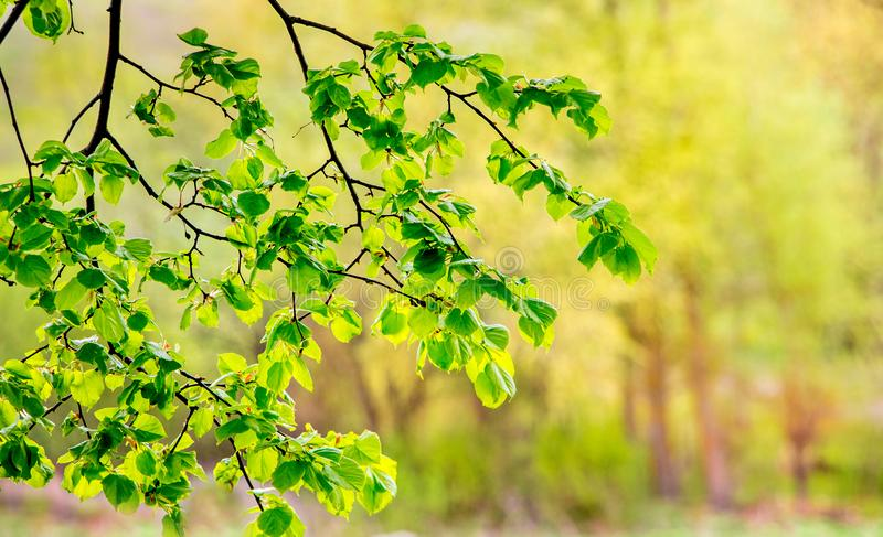 Tender bright green leaves of linden against the sun on a blurry background_. Tender bright green leaves of linden against the sun on a blurry background royalty free stock photos