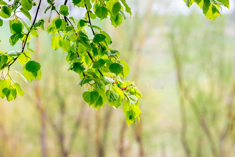 Tender bright green leaves of linden against the sun on a blurry background_. Tender bright green leaves of linden against the sun on a blurry background royalty free stock photo