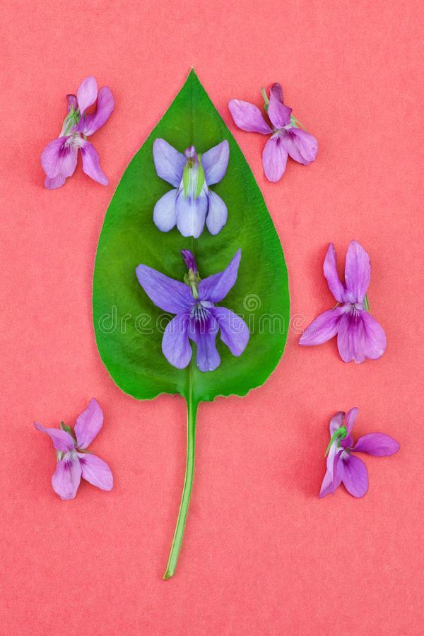Tender colorful violet and magenta viola flowers on green leaf, bright pink background, plain flat lay spring nature concept. Design stock photo