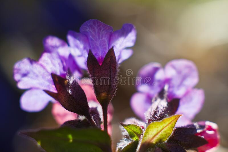 Delicate flowers of unspotted lungwort, shine in direct sun rays, early spring morning in a forest, dark blurred background. Tender and delicate flowers of stock photos