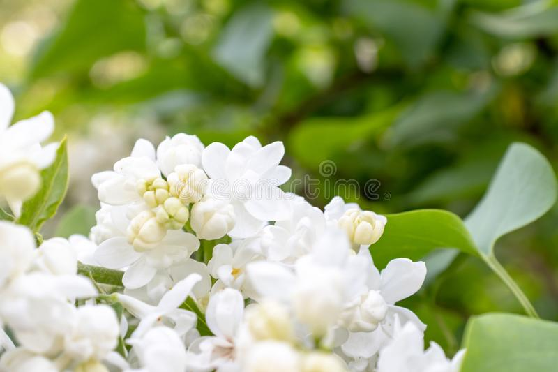 Tender delicate white lilac flowers and buds close up on green foliage background, copy space.  stock photo