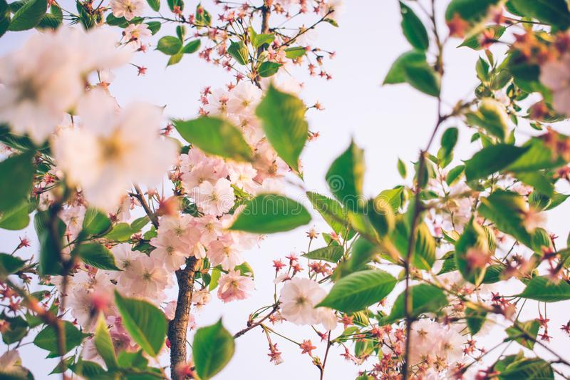 tender flowers of apricot tree in spring royalty free stock image