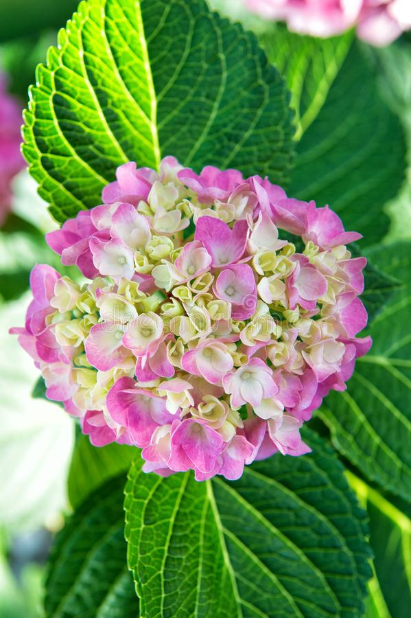 Tender flowers soft little petals. Perfume aroma fragrance concept. Flower scent. Hydrangea summer flower plant royalty free stock image