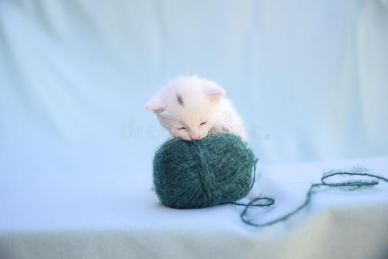 Tender and fluffy white kitten plays with a ball of green wool. Lovable and fluffy white kitten plays with a ball of green wool stock photo