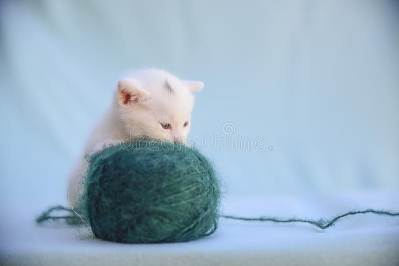 Tender and fluffy white kitten plays with a ball of green wool. Lovable and fluffy white kitten plays with a ball of green wool royalty free stock image