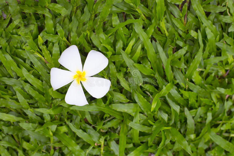 tender frangipani flower, laying in the green grass cal royalty free stock image
