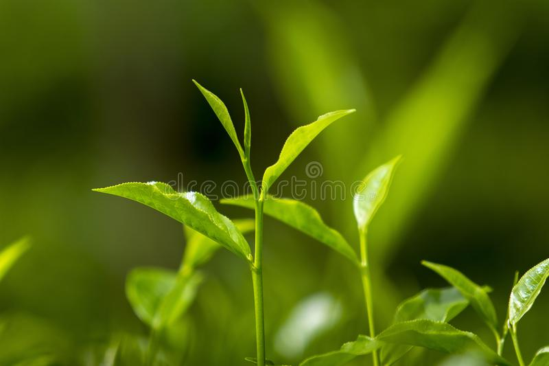 Tender and green tea leaves in winter day evening time. The shape of the leaf, and the color. The shape varies for different kinds of tea. Tea bud and leaves at stock photo
