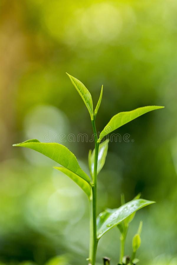 Tender and green tea leaves in winter day evening time. The shape of the leaf, and the color. The shape varies for different kinds of tea. Tea bud and leaves at stock images