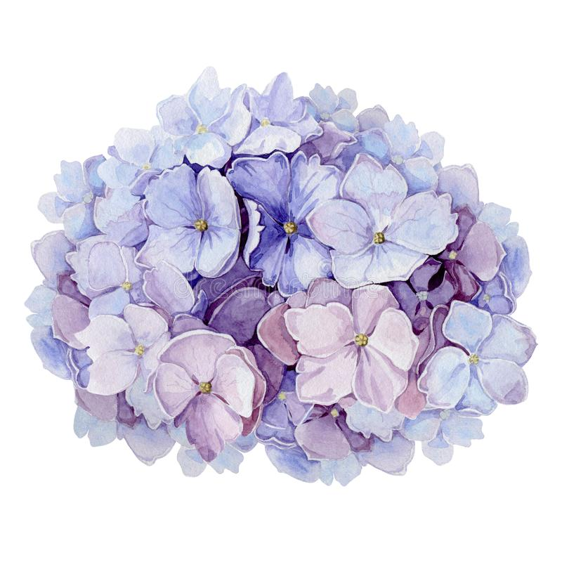 Tender hydrangea flower watercolor illustration. Light blue with pink full blooming elegant garden bush. Romantic natural beautif. Ull blossoms isolated on white stock illustration