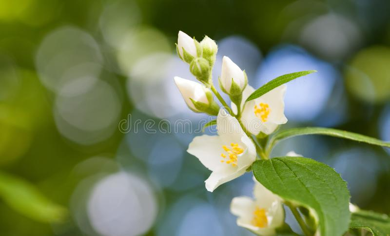 Tender jasmine flowers on soft blurred background. Blossoming white petals plant, summertime garden scene. Macro view. Photo. shallow depth of field copy space stock photography