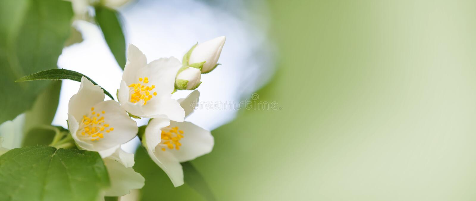 Tender jasmine flowers on soft blurred background. Blossoming white petals plant, summertime garden scene. Macro view. Photo. shallow depth of field copy space stock image