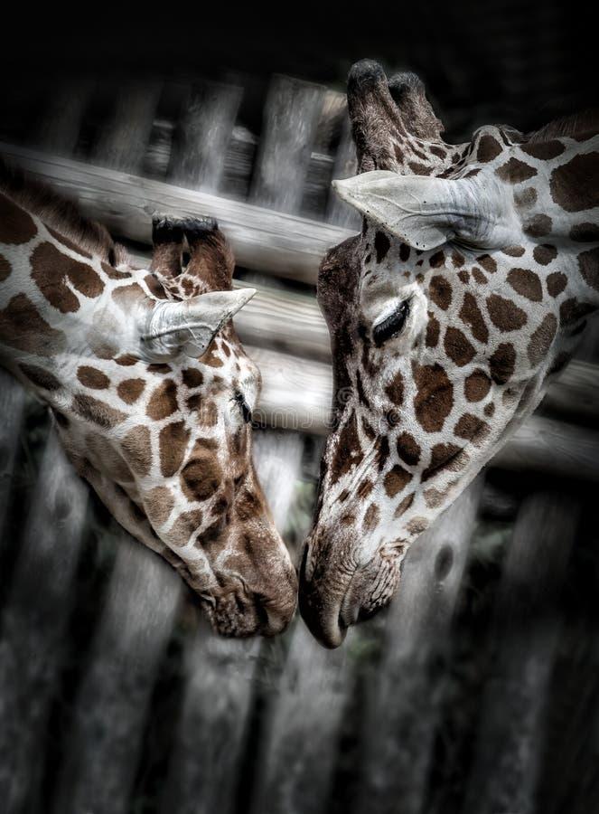 Cute Giraffes` kiss royalty free stock images