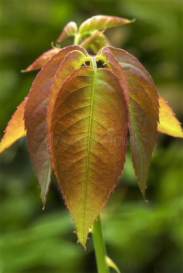 Tender leaves of rose plant stock photos
