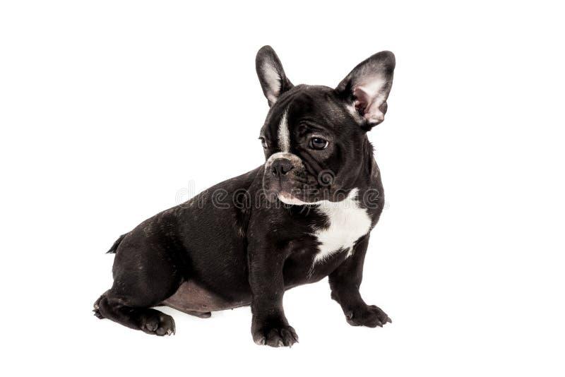 Tender mascot - black french bulldog baby, photo on white background stock images