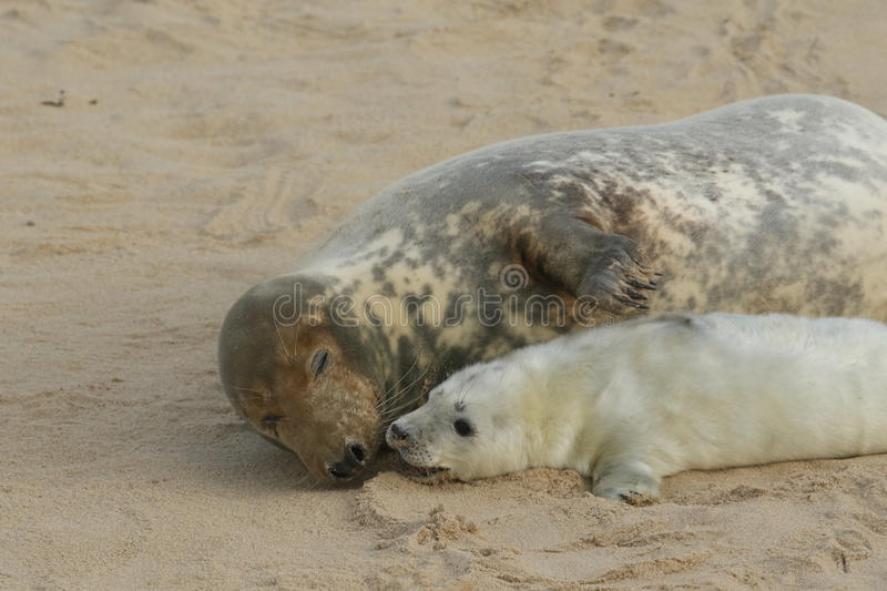 A tender moment with a Grey Seal Halichoerus grypus mum and her newly born pup lying on the beach. royalty free stock photos