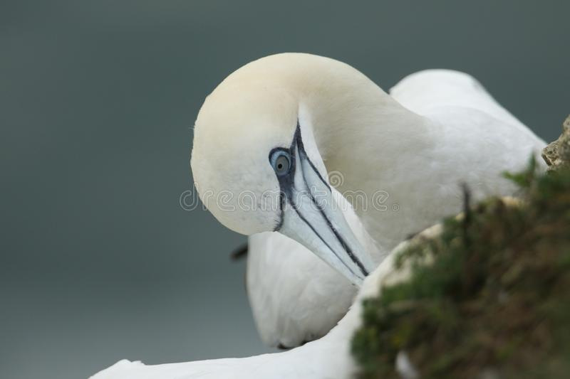 A tender moment between two courting Gannet, Morus bassanus, where one is preening the head of the other standing on the edge of a royalty free stock image