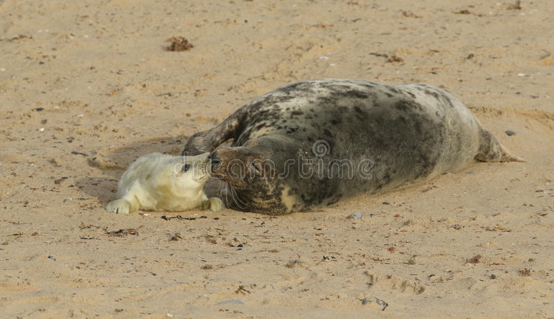 A tender, nose to nose moment with a Grey Seal Halichoerus grypus mum and her newly born pup lying on the beach royalty free stock images