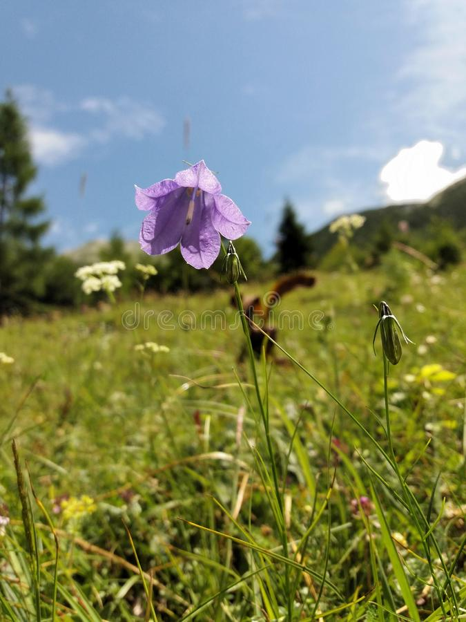 Tender pale violet blossom of a mountain flower royalty free stock photo