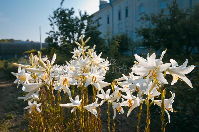 Lily flowers or fleur-de-lis shine in early summer morning bright sunshine, symbol of Holy Trinity and Virgin Mary. Tender pale white lily flowers or fleur-de stock image