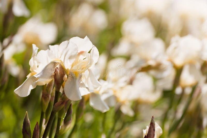 Tender pale yellow flowers of iris or fleur-de-lis bloom in a flowerbed, summer morning sun backlight garden, environmental blur stock photos