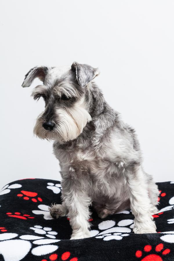 Tender pet - miniature Dog Schnauzer. The Schnauzer -pronunciado in German is a dog breed that originated in Germany during the XV and XVI centuries. Its name royalty free stock photography