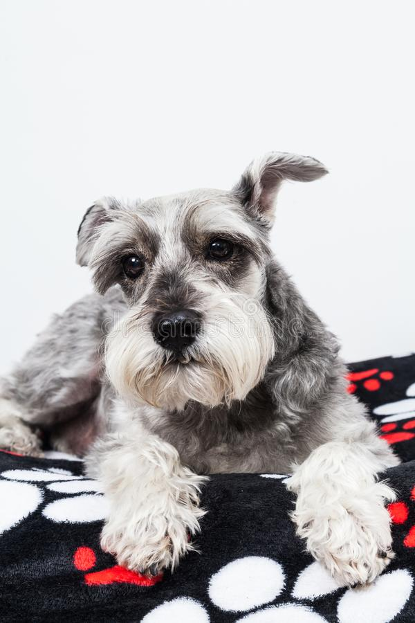 Tender pet - miniature Dog Schnauzer. The Schnauzer -pronunciado in German is a dog breed that originated in Germany during the XV and XVI centuries. Its name stock photos