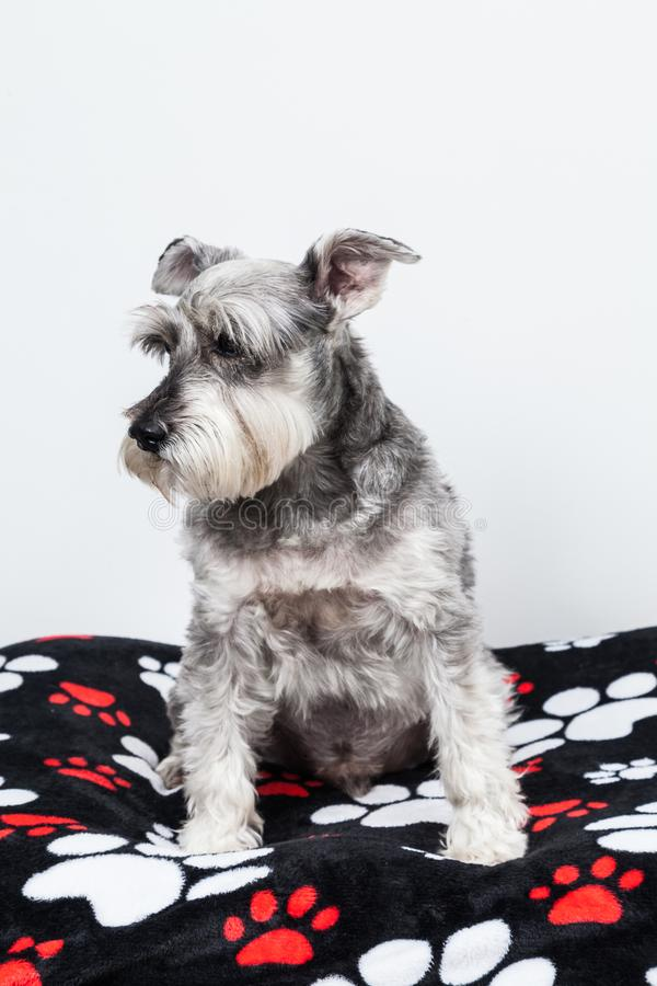 Tender pet - miniature Dog Schnauzer. The Schnauzer -pronunciado in German is a dog breed that originated in Germany during the XV and XVI centuries. Its name stock photography