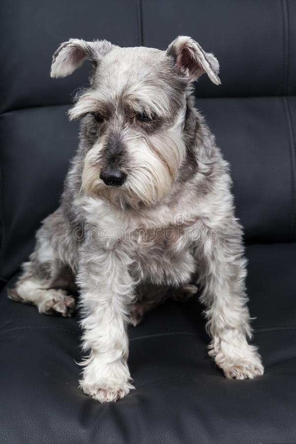 Tender pet - miniature Dog Schnauzer. The Schnauzer -pronunciado in German is a dog breed that originated in Germany during the XV and XVI centuries. Its name stock photo
